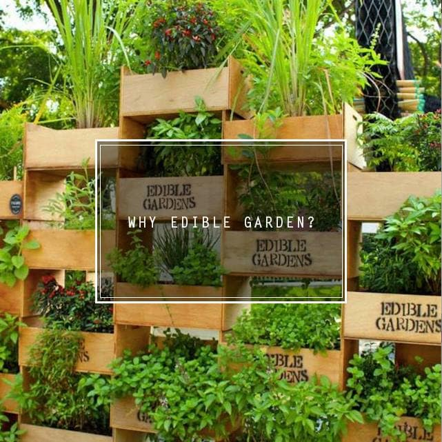 Read more about the article Why Edible Garden?
